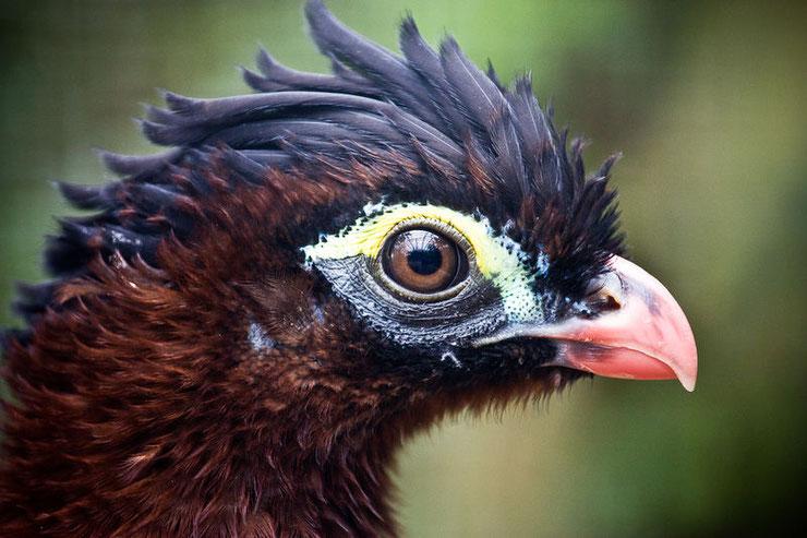 nothocrax hocco nocturne  fiche oiseaux animaux  taille poids alimentation reproduction