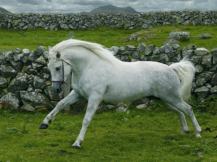 poney connemara fiche cheval chevaux  comportement caractere origine poil sante entretien