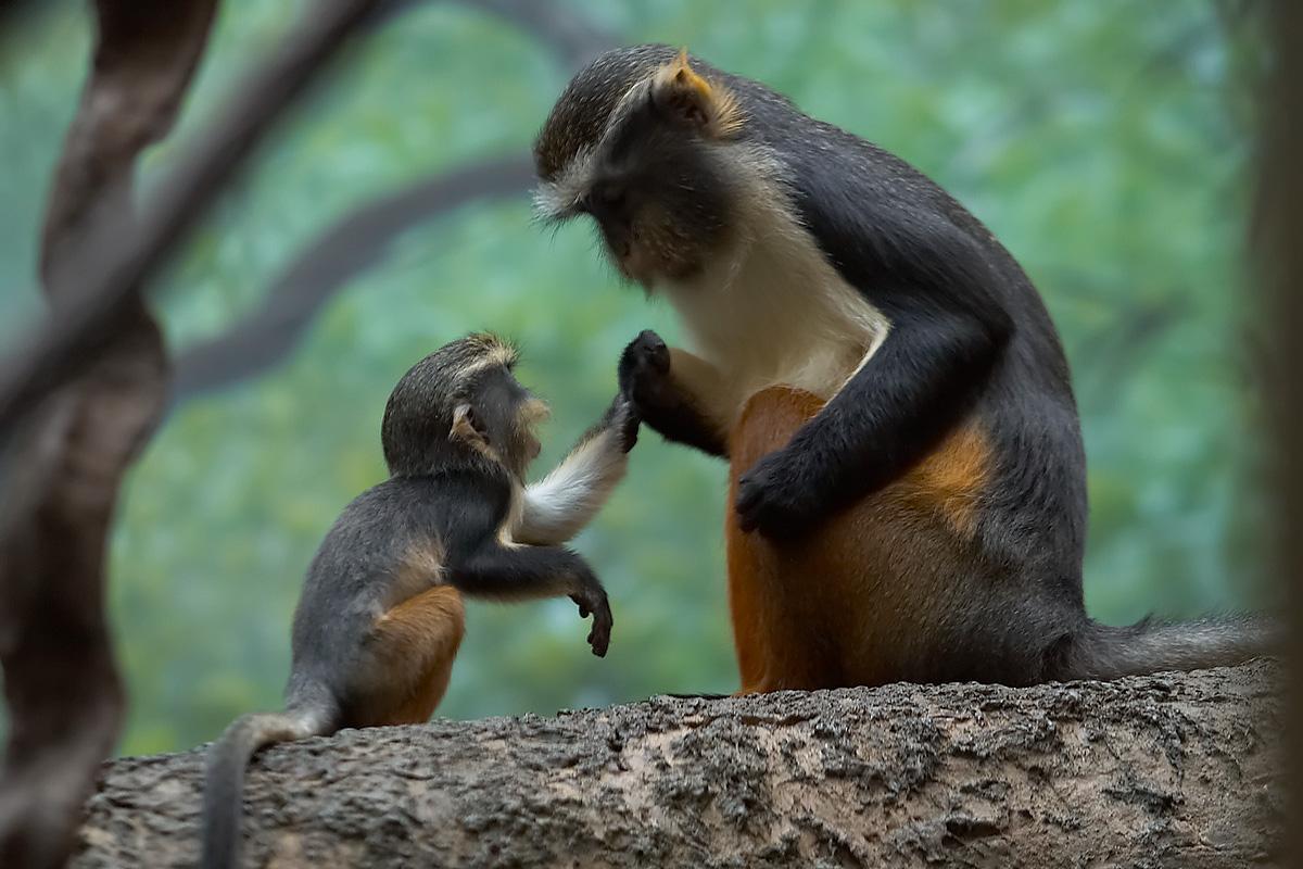35 magnifiques photos de singes vous attendent sur Diconimoz.