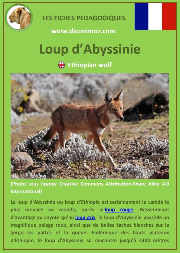 loup d'abyssinie fiche pédagogique pdf à télécharger et a imprimer pour la maison ou pour l'école ethiopian wolf