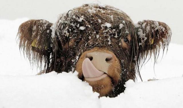 animaux dans la neige vache humoristique snow cow funny cute