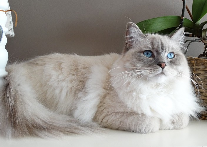 fiche animaux animal de compagnie  chat ragdoll poupee de chiffon