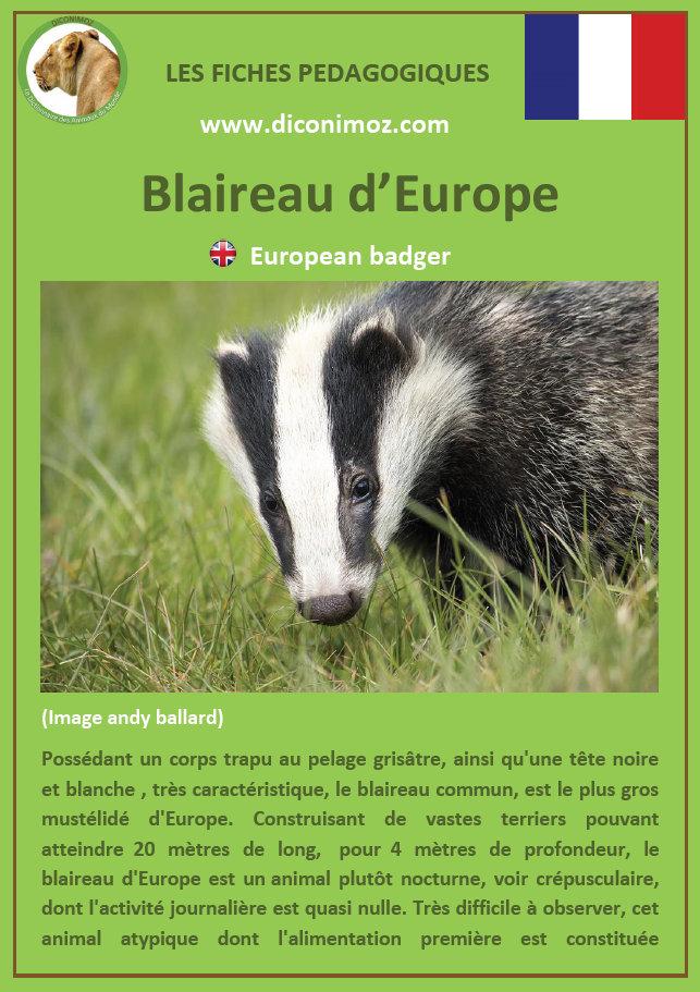fiche animaux blaireau a telecharger et a imprimer mammifere europe foret