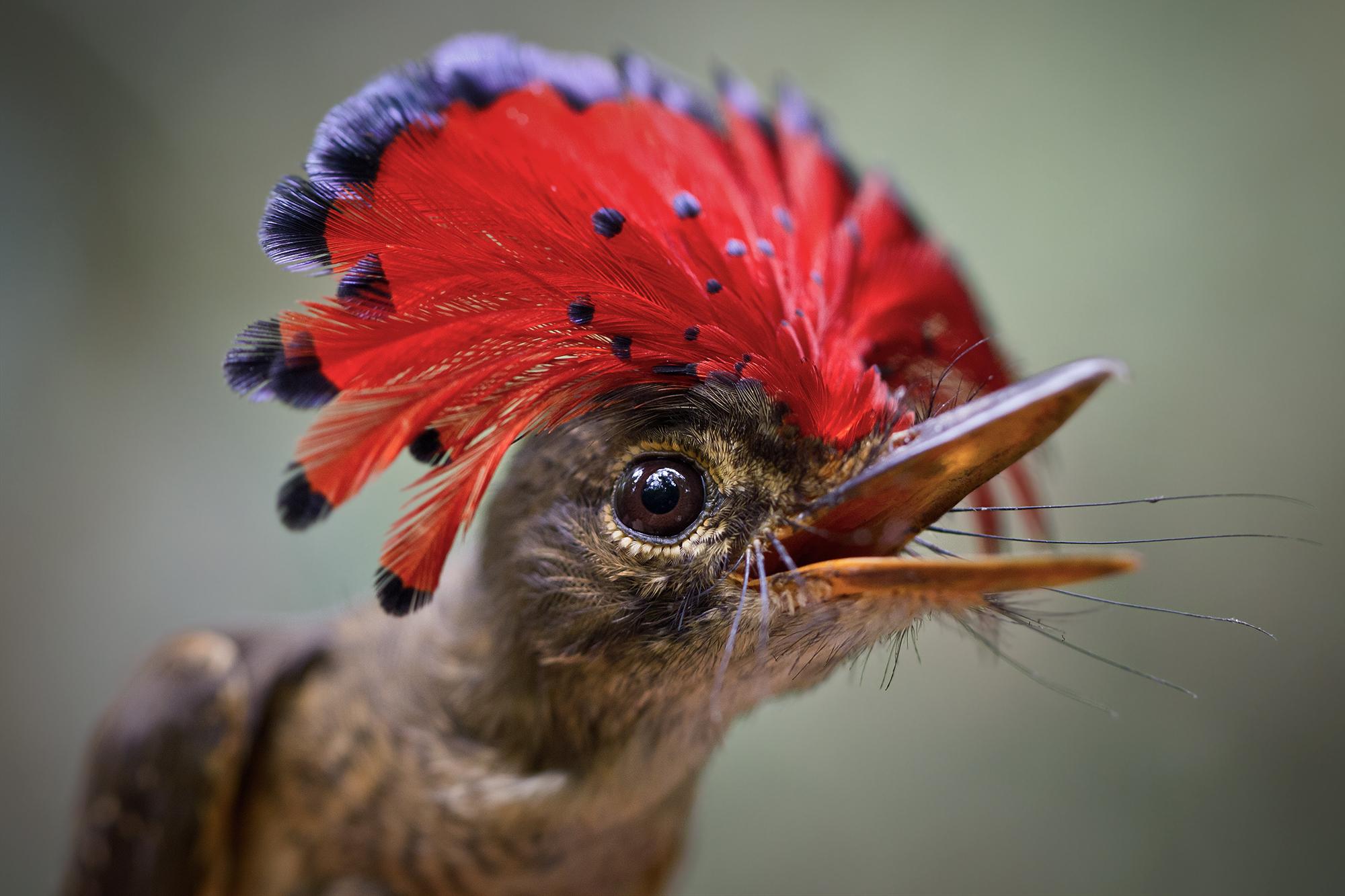 Le moucherolle royal, cet oiseau atypique d'Amazonie !