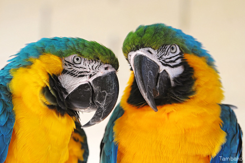 fiches animaux ara bleu et jaune
