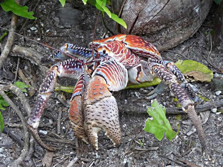 Capable de casser des noix de coco, le crabe des cocotiers peut mesurer jusqu'à 1 mètre.