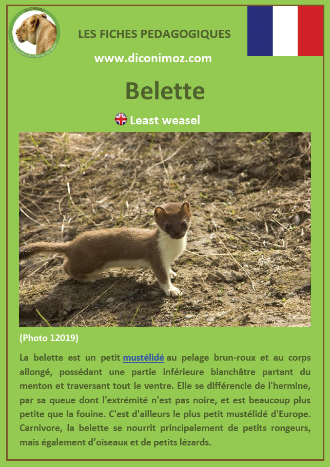 fiche animaux belette a telecharger