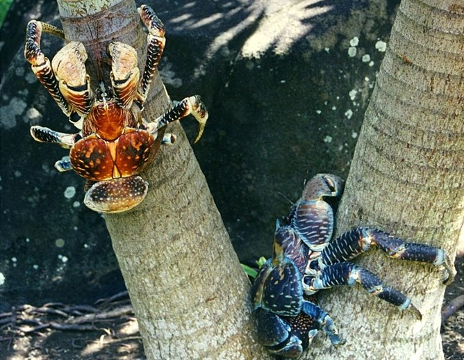 crabe des cocotiers fiches animaux crustaces cocont crab animal facts