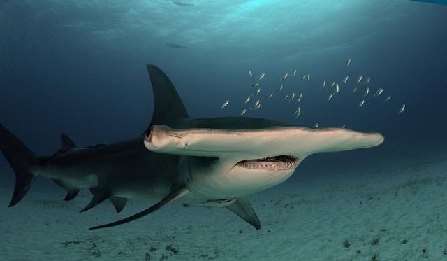 grand requin marteau polynesie rangirora tahiti
