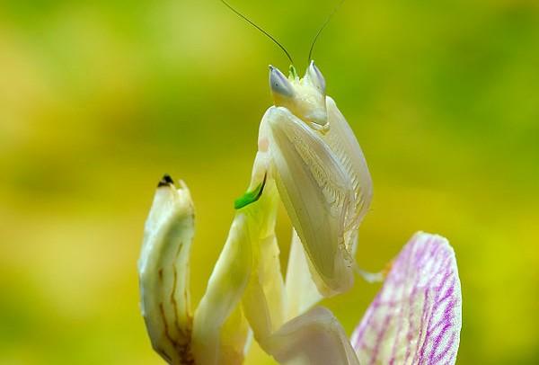 mante orchidee fleur  fiche insecte