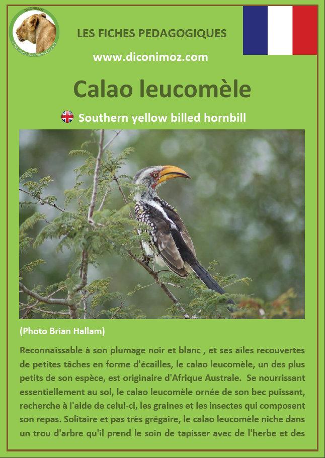 fiche animaux oiseaux calao leucomele afrique a telecharger et a imprimer pour l'ecole ou la maison