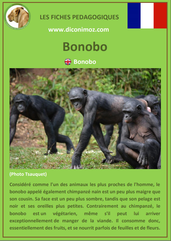 fiche animaux pdf singe bonobo a telecharger et a imprimer animal facts monkey