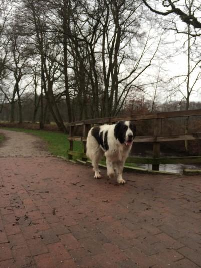 Dass Hera, mein toller Pyrenäen Berghund heute so vergnügt an der Seeve spaziert, ist nicht selbstverständlich.Vor zehn Tagen war sie schwer krank und wurde operiert. Sie hatte eine Gebärmutterentzündung und wurde von Tag zu Tag schwächer.