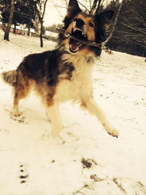 ....von wegen kalt und frieren. Marie ist in ihrem Element, spielen, toben, laufen, treiben... dabei wird sie nun 12, aber wir halten uns jung, meine Tiere und und ich!