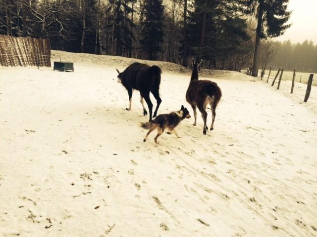 Mit Begeisterung bringt Marie die Lamas zurück zu ihren Stall und sogar vor Momo, dem kleinen frechen Shetlandpony hat sie keine Angst.