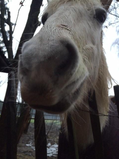 """""""Manchmal könnte ich schnauben vor Glück"""" das ist der Titel meines neues Buches. Es geht um eine Pferdegeschichte, natürlich. Zum Inhalt: Charly hat einen schweren Unfall mit dem Pferd, überlebt und natürlich reitet sie wieder."""