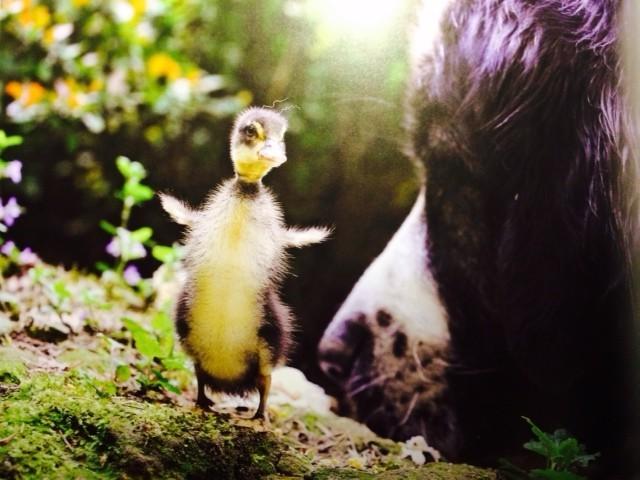"""Auf dem Foto aus dem Buch """" Lilli Laufi aus dem Ei"""" ist meine Lilli wenige Wochen alt und entdeckt die Welt. Hera ist ganz vorsichtig."""