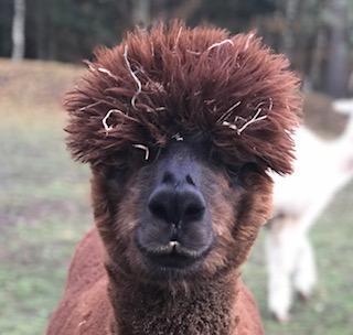Hallo ich bin Pedro. Und  sehe  aus  wie ein Kuschelbär. Im Mai werde ich 6 und ich kannte bisher nur das Leben in der Herde. Wie mein Freund komme ich aus der Nähe von Zeven.