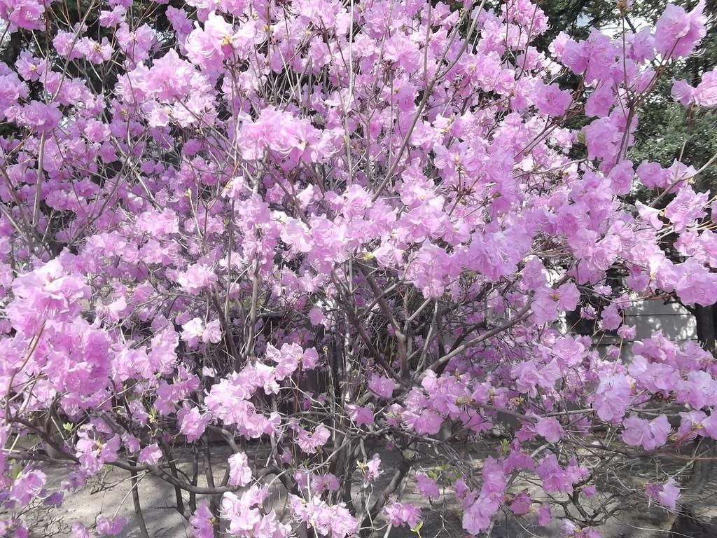 岩山に花のみ咲くチンダルレ