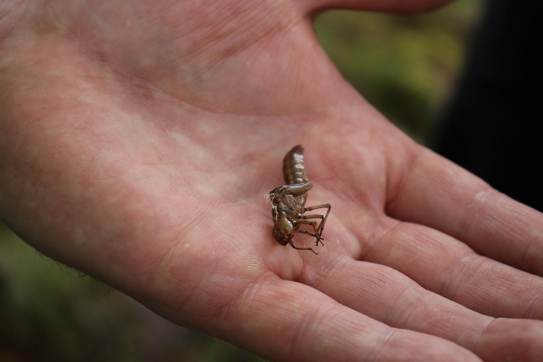 Haut einer geschlüpften Libellenlarve