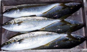 アジ 個人的には一番うまい魚だと思います。