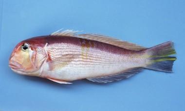 アマダイ こちらも高級魚。地元で一番よく売れるサカナです。