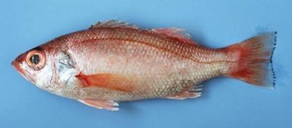 ノドグロ(アカムツ)言わずと知れた高級魚、煮付けもうまい。