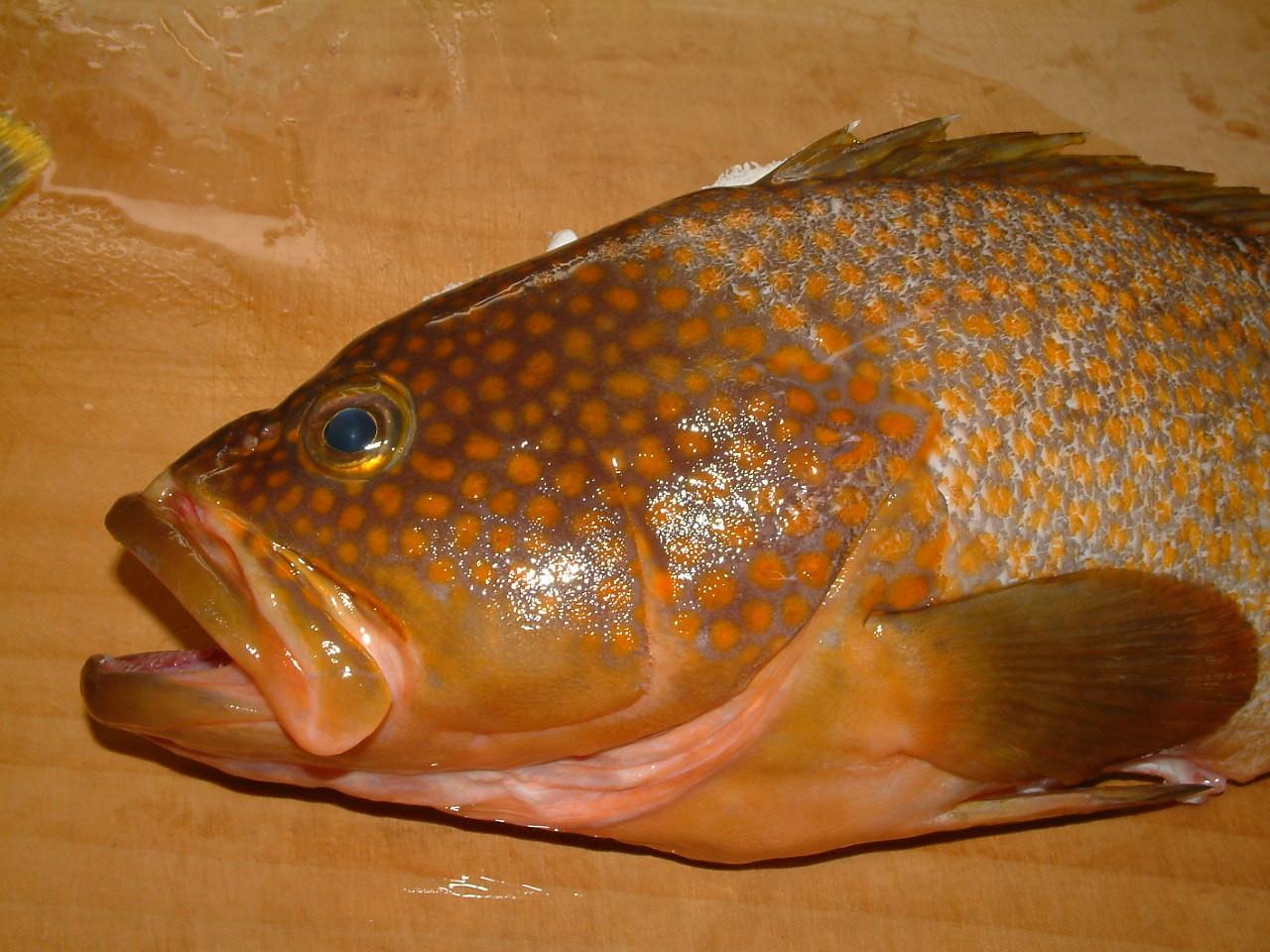 赤光(キジハタ)地元で最も高いお魚、のど黒じゃないんです。