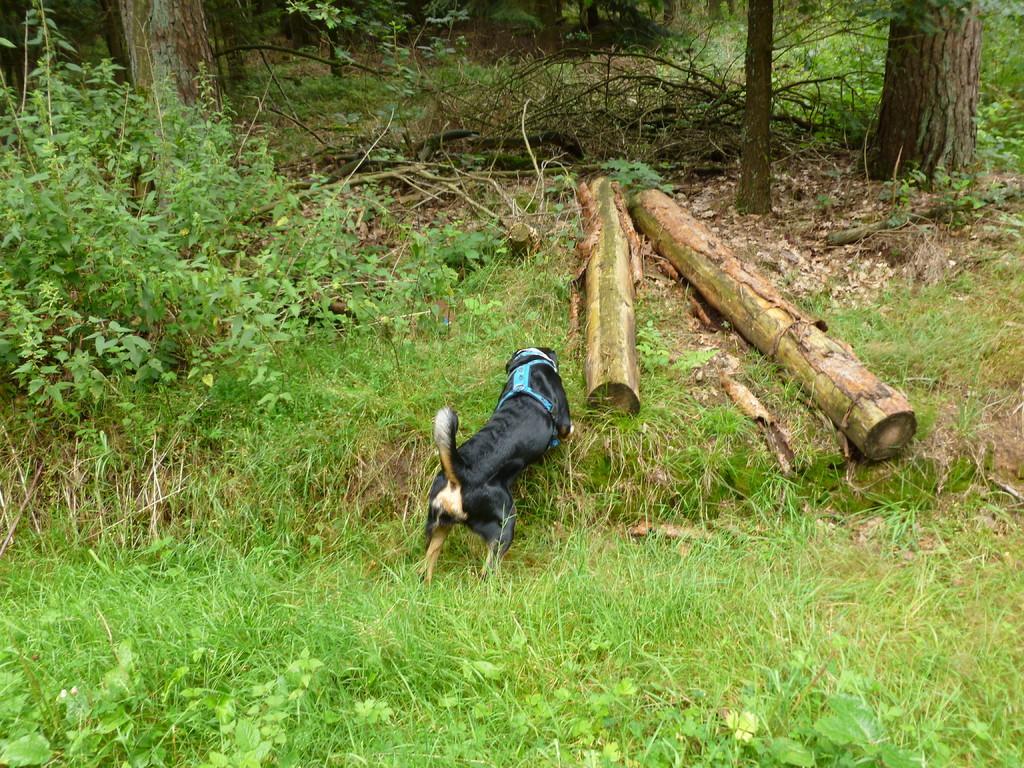 Im Wald hat Tascha immer wieder mein Preydummy versteckt