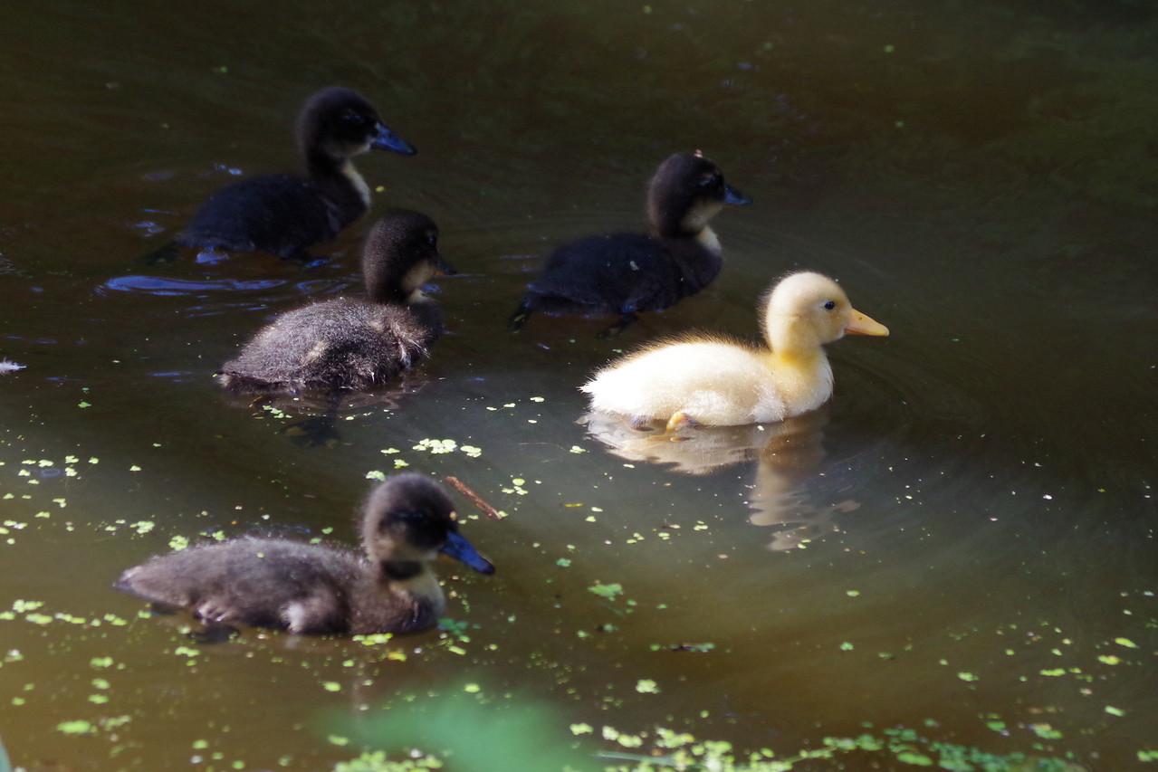 Die jungen Enten kommen mich besuchen