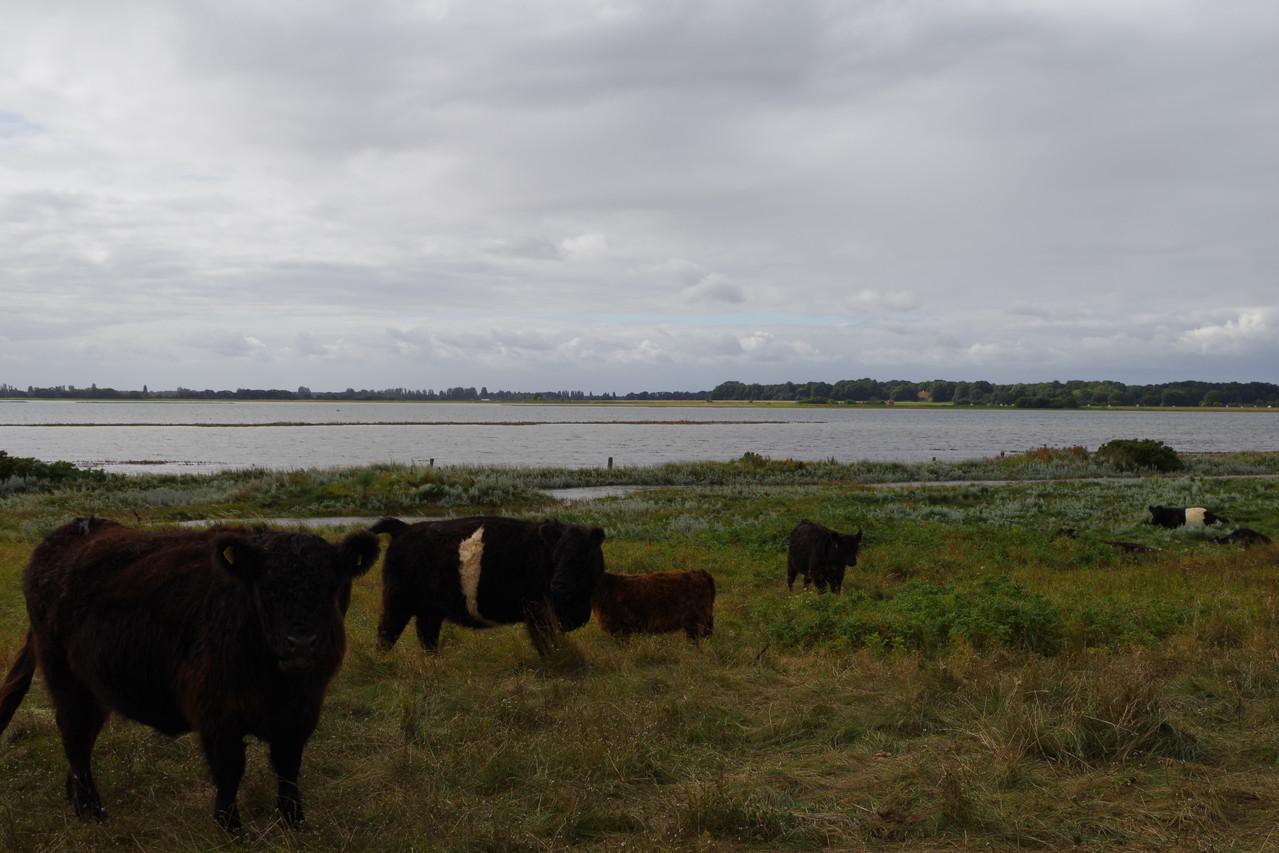 Die Tiere laufen auf der Halbinsel frei