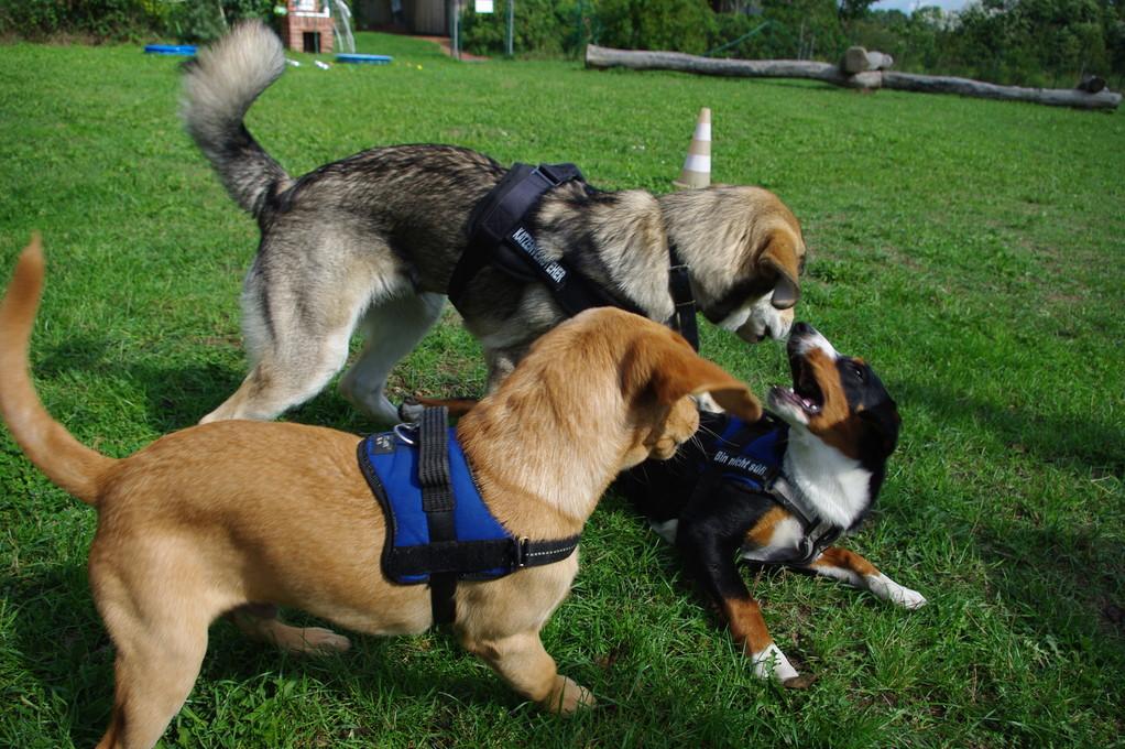 Spielen mit meinen Kumpels Conner und Ghino in der Hundeschule
