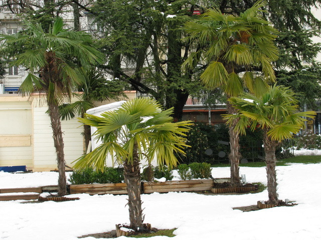 Palmen in Montreux