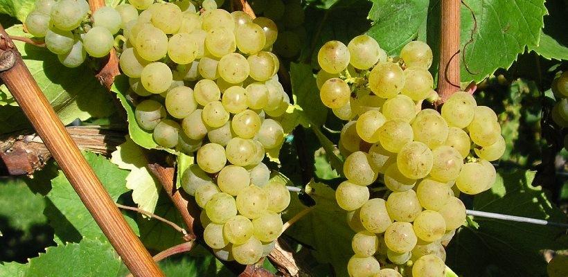 Nur aus gesunden, vollreifen Trauben kann ein guter Wein entstehen.