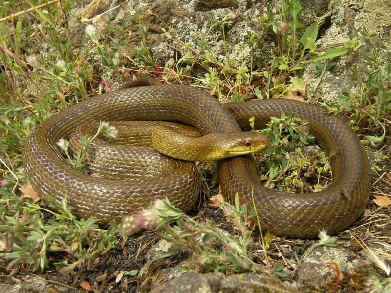 Italian Aesculapian Snake (Zamenis lineatus), Sicily, May 2014