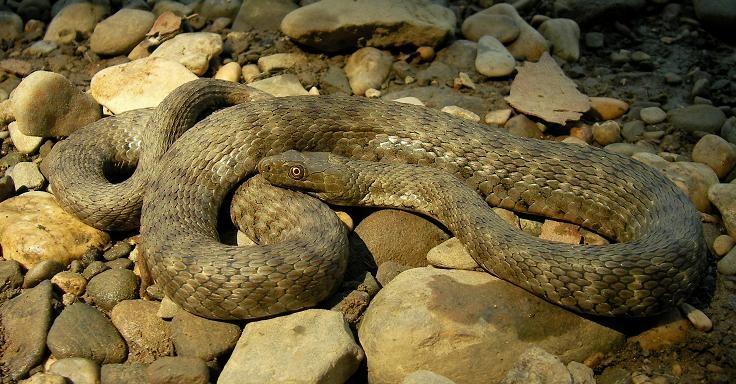 Dice Snake (Natrix tessellata), Slovenia, July 2010