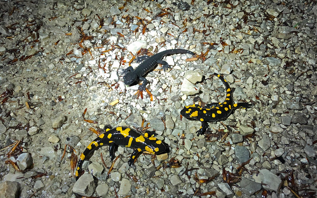 Fire Salamanders (Salamandra salamandra) and Alpine Salamander (Salamandra atra).