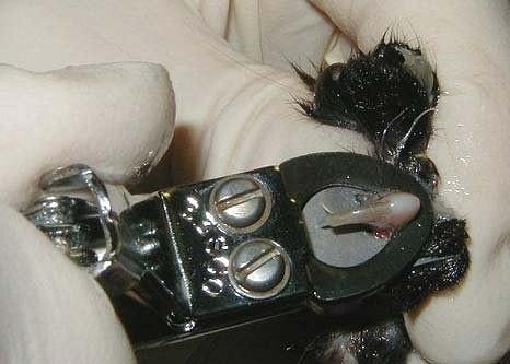 Владельцы кошек должны стричь когти животному при помощи подходящих щипчиков.  Это не те щипчики - это орудие пыток...*(((
