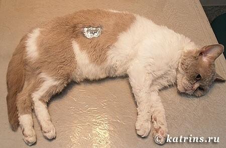 16. кошка после операции, еще в наркозе