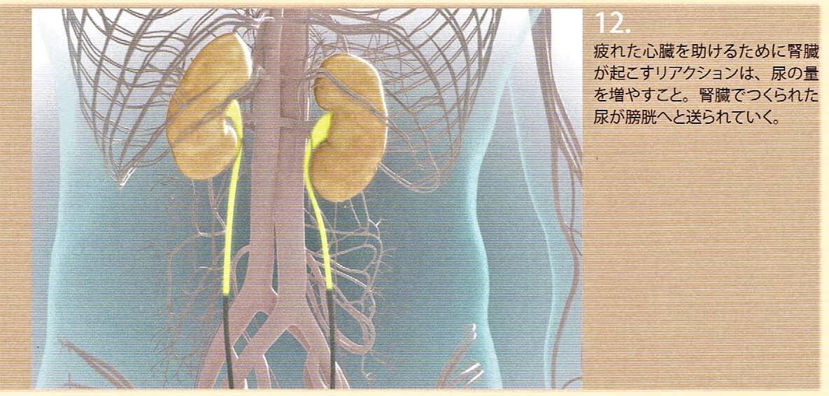 9.腎臓のリアクションとは尿を作り膀胱に送りだすことです。