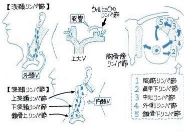 脳脊髄液の排液ルートは、深頚部リンパ節や脊髄根周辺からのリンパ系ルートが考えられます。