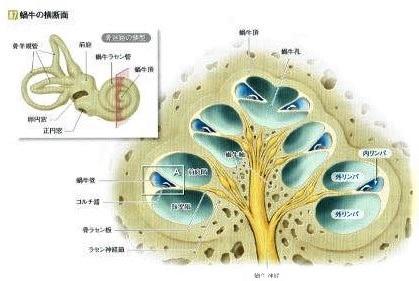 内リンパは外リンパからの影響を受けやすい。