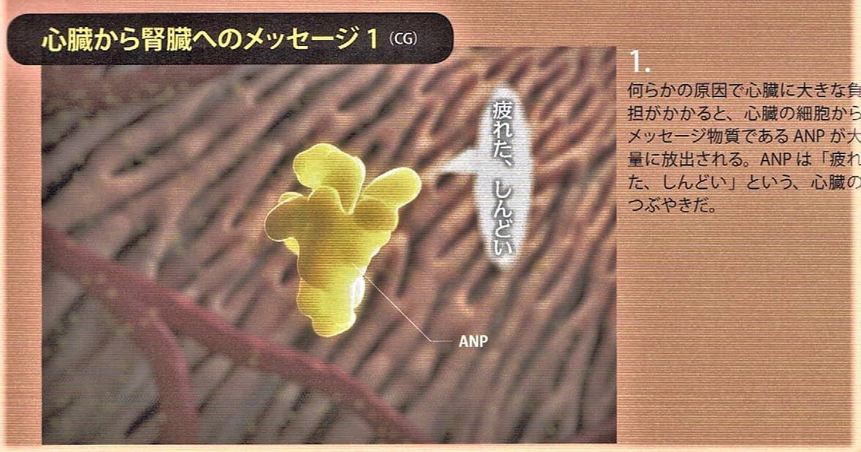 1.心臓の細胞からANP(心房性ナトリウム利尿ペプチド)が放出されます。
