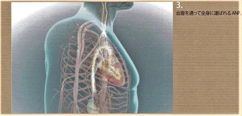 3.血管を通って全身に運ばれます。