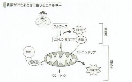 乳酸ができる時にエネルギーが作られます。