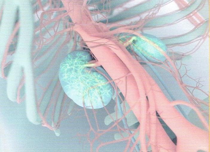 【開始】腎臓は腰の少し上あたりに位置し、握りこぶしをひと回り小さくしたくらいの大きさだ。