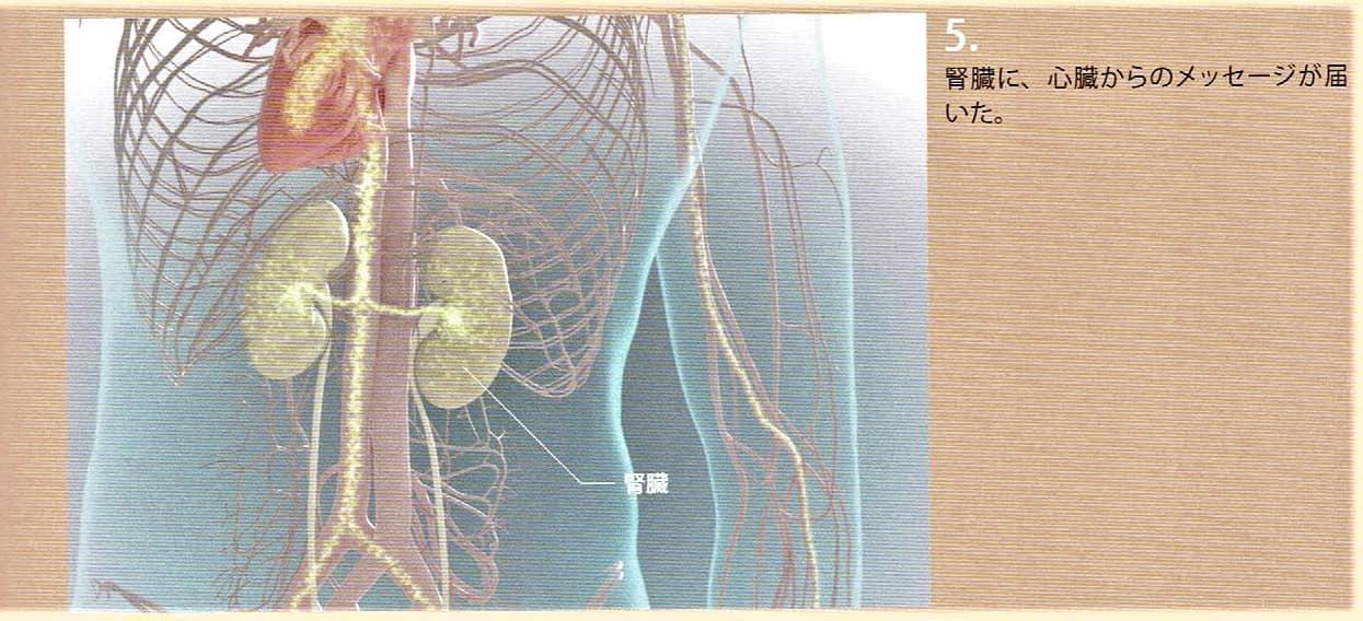 4.腎臓に心臓からのメッセージが届きました。