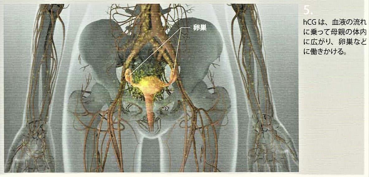 hCGは、血液の流れに乗って母親の体内に広がり、卵巣などに働きかける。