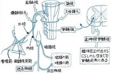 脊髄根は延髄根の下方にあります。