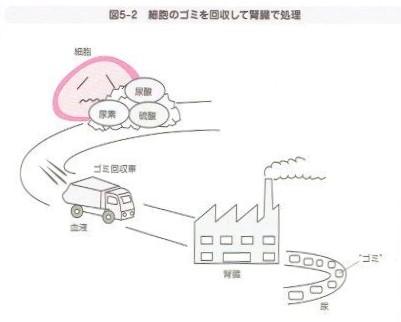 細胞のゴミを回収して腎臓で処理